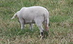 What is the need to perform caudectomy procedures in sheep?