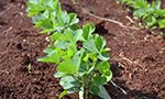 What is the behavior of hypocotyl of soybean cultivars over several planting seasons?