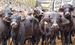 Diarrhea in young buffaloes caused by Escherichia coli may be associated with different toxins and pathotypes of bovine
