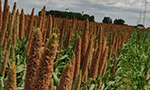 Millet can be used as an economic alternative in cattle feed