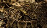 The venoms of sibling snakes may not be so similar