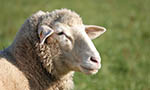 Use of tanine in sheep feeding has positive results