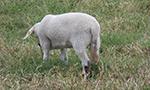 Qual a necessidade de se realizar procedimentos de caudectomia em ovinos?