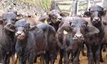 Quais os principais fatores de virulência de Escherichia coli associados à diarreia em búfalos jovens?