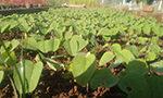 A coloração da semente de soja influencia na sua qualidade