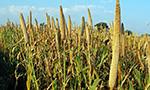 Método inovador mede o teor de clorofila nas folhas de milheto