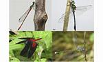 Conhecendo as libélulas do Paraná: pesquisa revela 5 novas espécies e 53 novos registros