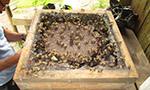 Pesquisa analisa a produção de mel por abelhas sem ferrão na amazonia peruana